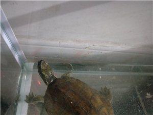 出售家养四眼龟