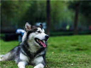 有没有愿意领养狗的,阿拉斯加!