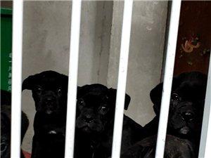 意大利护卫犬卡斯罗幼犬出售