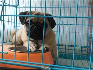 出售巴哥犬一只