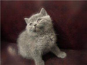 幼猫蓝猫出售