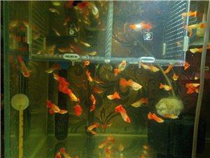 自家繁殖孔雀鱼