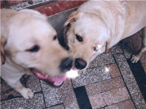 差不多一岁的拉布拉多公狗狗寻人领养