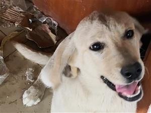 5个月的拉布拉多犬没空养了,忍痛割爱