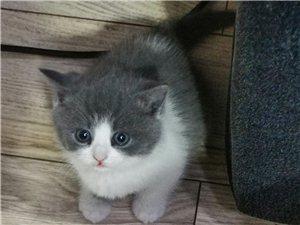英短蓝白母猫正开脸