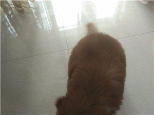 巨型犬,熊版啊拉斯加