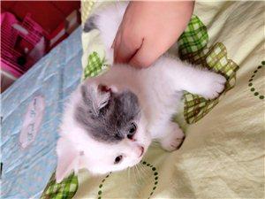 低价出售宠物猫