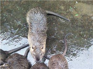 海狸鼠出售