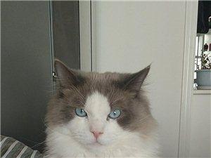 布偶貓借配