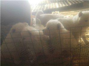 犬�鏊_摩耶幼犬出售
