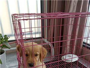 母金毛幼犬寻主人,家里不让养