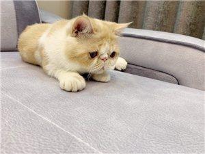 因本人去外地发展 急售加菲猫一只