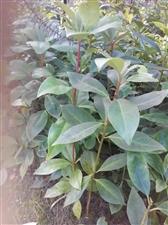 大量出售八角种子,八角苗,有需要的请联系:13977479128.高先生