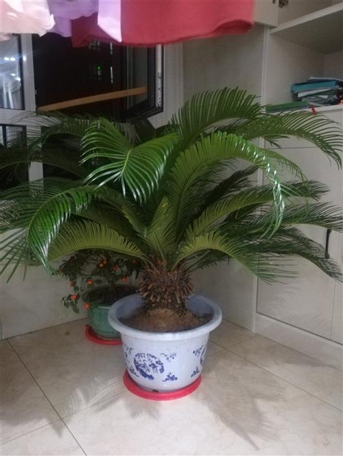 家中有铁树一棵,种了十年了,因住偃师了在屋里太占地方,有诚心要的请联系