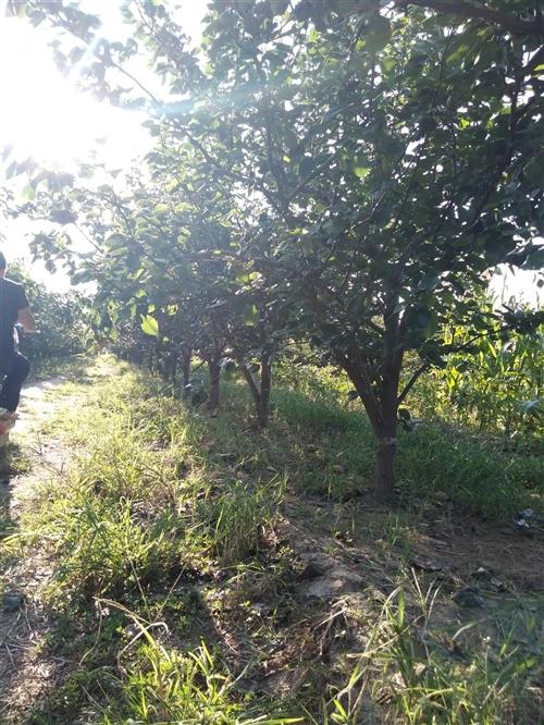 出售黄冠树成苗,已进入坐果期。