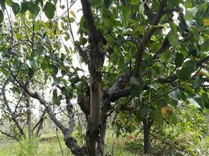 因田地整改现出售一百多棵十到十几年的梨树,有意电联!