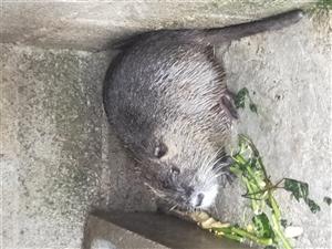 自家�B的海�鼠,肉�|��,�I�B�r值高,需要的朋友抓�o�系,�盗坎欢啵�6~12斤不等,300~400元