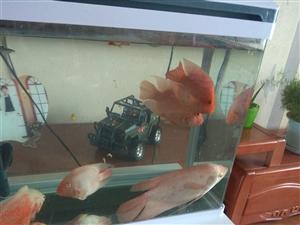 鱼缸太小所以有几条大鱼出售