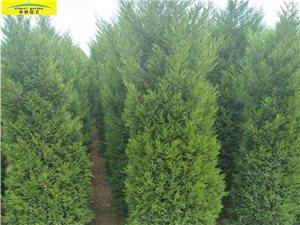 本人有蜀侩200多颗,树龄3年,树高2.5-3米,树形好,价格低,四季常青,耐阴。是廊道绿化的好树种...