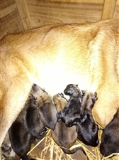 精品马犬幼崽出售,马犬是当今的军犬、警犬个人用于看家护院和看场地都非常给力,喜欢马犬就请联系我:18...