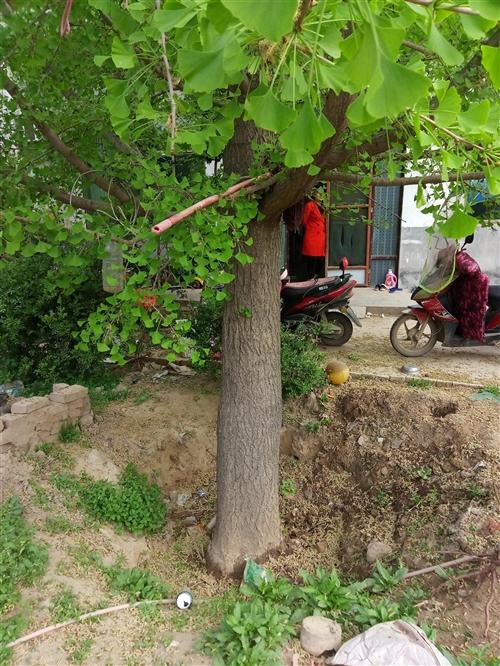 銀杏樹直徑35以上