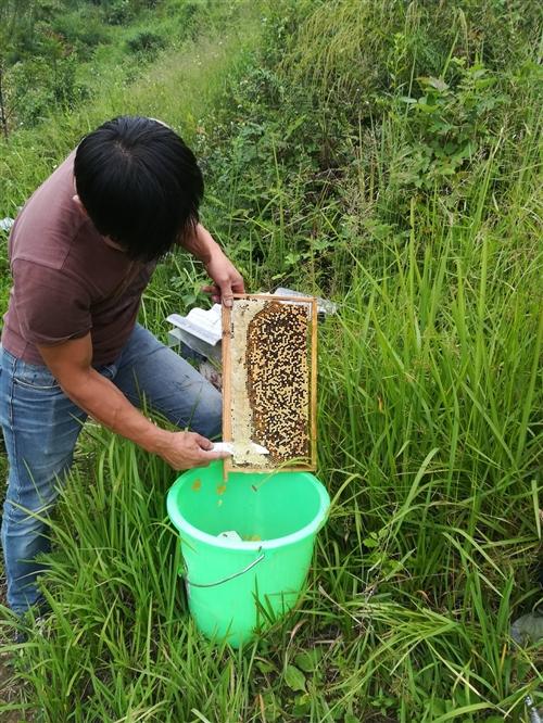 长期出售土蜂蜂蜜(中华蜂蜜)价格80元一斤,量大从优,同城免费送货!联系人康强:1820827395...