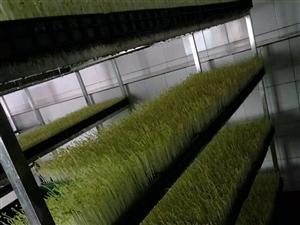 北碚有机芽苗蔬菜厂转让,有成熟的销售渠道,免费教会各项技术,接受即可盈利,因老板其他项目,没时间管理...