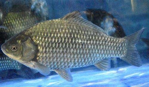 本店有鲫鱼出售13876008997 补虚催乳、补肝养目、健脑益智