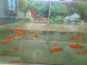 鱼缸带鱼出售,有氧气泵, 100元就卖了
