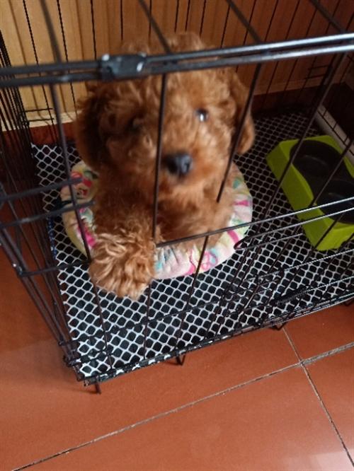 出售泰迪小狗,公狗,三个多月,两针育苗,带狗笼子,260要的速度,18846445044