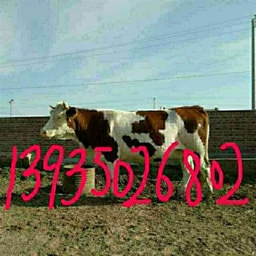 绿牧常年出售大小品种肉牛(西门塔尔,夏洛莱,利木赞,安格斯),品种肉牛生长速度快,耐粗放,好饲养,提...