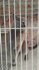 出售蓝猫和养殖笼养殖笼160×70×195可分体三层9个拖牌可子母有隔断