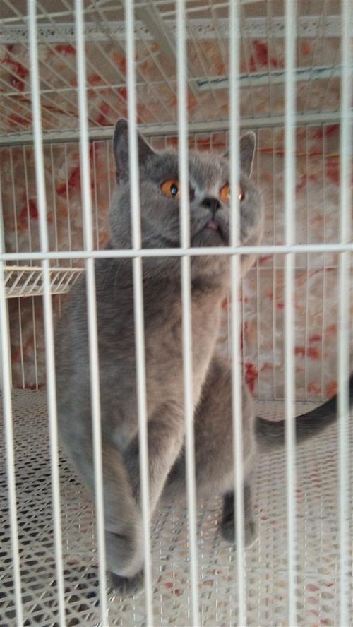 出售藍貓和養殖籠養殖籠160×70×195可分體三層9個拖牌可子母有隔斷
