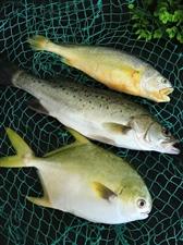 海边直发,金昌鱼超市30元一斤,现在只要19.8元,鲈鱼12.8元,黄花鱼1斤多的只要22元,扇贝2...