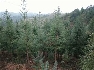 杉树山出售,已种6000棵6年,手续齐全,随时可以砍伐,无需投资,坐等收益,水泥路已硬化到山边,因急...