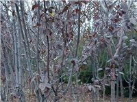 紅葉李定植樹,地徑2/3/4/5公分。分支80/120公分。自己地里的樹。