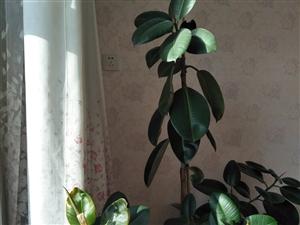 出售橡皮树,养了好几年了,现在太大了,家里太小没地安放,现预出售,价格可小刀!