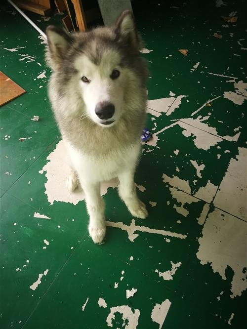 阿拉斯加8个多月大,因没有时间管理,现转让给喜欢养狗的善待它,价格面议