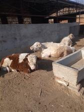 低价出售小公牛!本村还有很多!