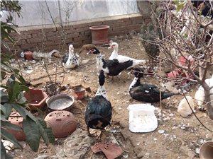 红头鸭家庭喂养,玉米麦子蔬菜喂养就七只,因拆迁忍痛出售,家庭困难自己舍不得吃