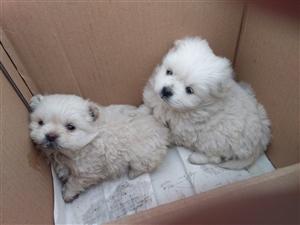 狮子狗慱美与师子狗的二代价格便宜
