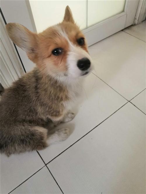 纯种柯基犬,三个多月出售,买上不到一个月,宠物店买的。家里有小孩,老人不让养。13399420977