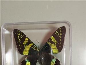 太阳娥蝴蝶标本,世界八大名蝴蝶之一。品相完好。