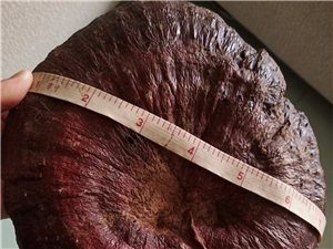 神农架野生灵芝,来之不易,这个最大的8两,转让价500元,还有十斤小些的,每斤300元,保证野生。可...