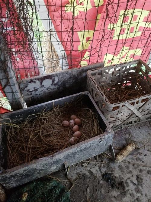 长期出售少量土鸡蛋。