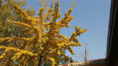 出售十八年龄银杏树一颗,树形美观,价格优惠
