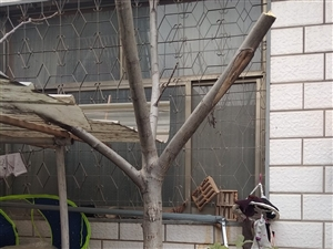 核桃树,已结果两年,直径12公分,因树头太大,院子小,售卖价格200元。
