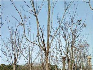 有胸径8?18公分的栾树600棵左右,需要的联系13781985806