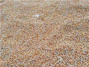 本人出售好玉米,�系��:15513342108