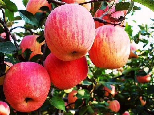 本人出售红富士苹果树,早酥梨树,红心桃树,联系电话17748821587各种占地树